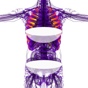 3d render medical illustration of the ribcage - front view